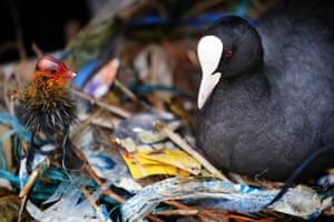 A coot chick with its mother in a nest made of plastic litter debris on the River Thames in London, UK