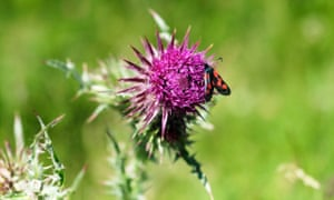 A six-spot burnet moth on a thistle, Harting Down, West Sussex.