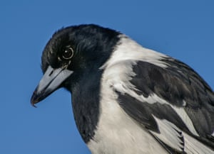 'I haven't actually voted in the poll yet, mainly because as a lifelong birder I find it hard to choose, but musical leanings make it hard to go past the butcherbird especially'