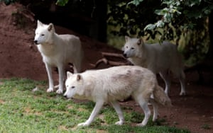 Arctic wolves in Wolves from Gévaudan' park near Saint Leger de Peyre, Southern France