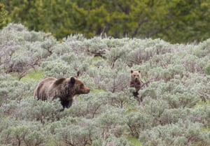 A grizzly bear sow and her cubs walk through the underbrush in Yellowstone national park, Wyoming, US