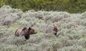 A grizzly bear sow and her cubs walk through the underbrush in Yellowstone National Park, Wyoming.