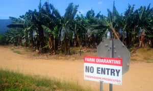 Quarantined banana plantations in north Queensland, Australia
