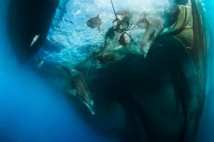 Two dolphins escape after getting caught in a fishing net in the Ligurian Sea, off the north-west coast of Italy