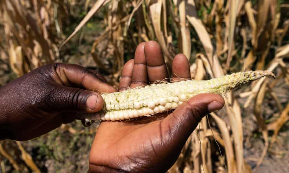 Future Nyamukondiwa inspects a stunted cob in her dry maize field on 13 March 2019