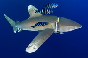 A diver's regulator holder cuts into the flesh of an oceanic whitetip shark, Red Sea