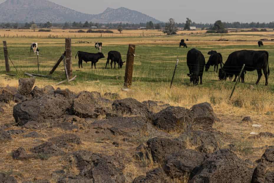 Cattle graze along A12 near Yreka.