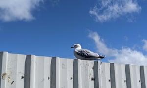 A black billed gulls on site
