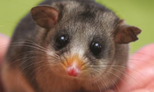 The mountain pygmy possum population is threatened again because the number of bogong moths, a key food source, is declining dramatically.