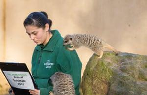 Keeper Veronica Heldt counts the four male meerkats