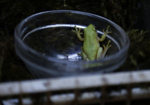 A Pickersgill's reed frog during a captive breeding period at the Johannesburg Zoo