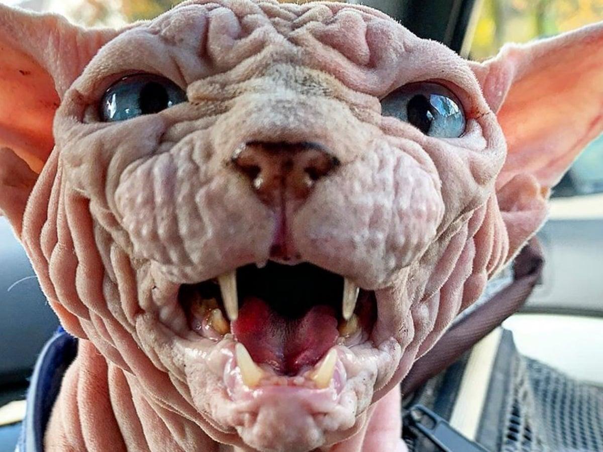 Meet Xherdan, the world's scariest-looking cat   Cats   The Guardian