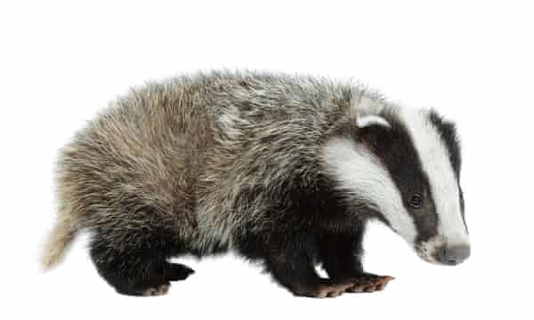 Black and white issue? A young badger.
