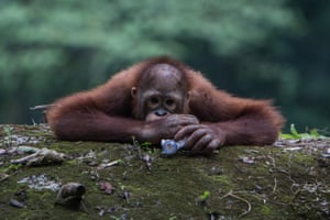 An orangutan eats a plastic bottle at Jakarta Zoo, Indonesia
