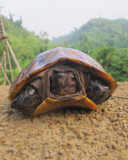 An Arakan Forest Turtle in the Chittagong Hills Tract.