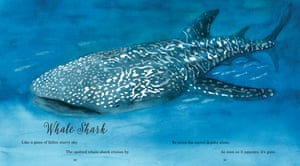 Whale sharks are the biggest fish in the sea, but they eat plankton as small as the end of a pencil. They are slow to grow and slow to breed and wander the oceans crossing international boundaries making them hard to study and hard to protect. Their numbers are falling thanks to their flesh and fins being prized ingredients in Asian cookery.
