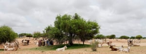 Cattle at a vaccination site in Chad.