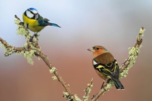 A blue tit and a chaffinch share a branch.