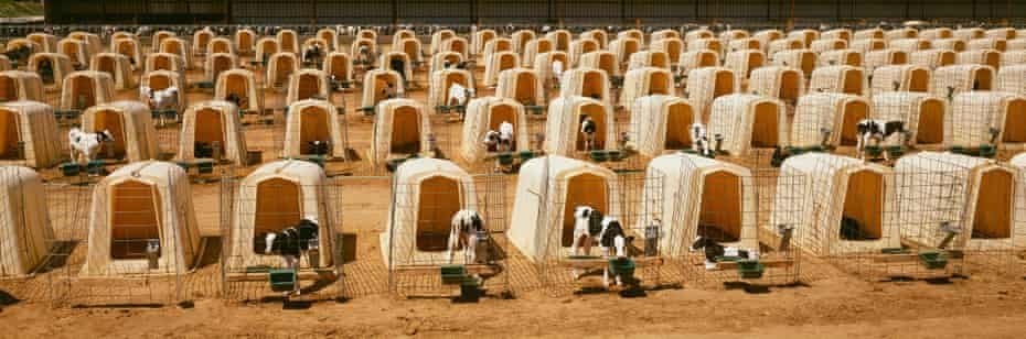 Rows of calf hutches at a dairy in Minnesota, US