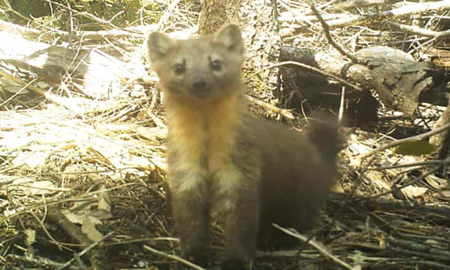The Humboldt marten — captured in images here and below by a remote wildlife camera — is one of several species threatened by the cannabis industry.