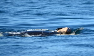 The mother whale, named J35, was carrying the calf on her forehead, researchers said.