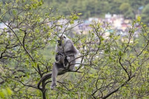 A langur monkey forages for fresh leaves on a tree in Dharmsala, India.