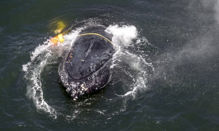 A humpback whale entangled in fishing line, ropes, buoys and anchors in the Pacific Ocean off Crescent City, California.