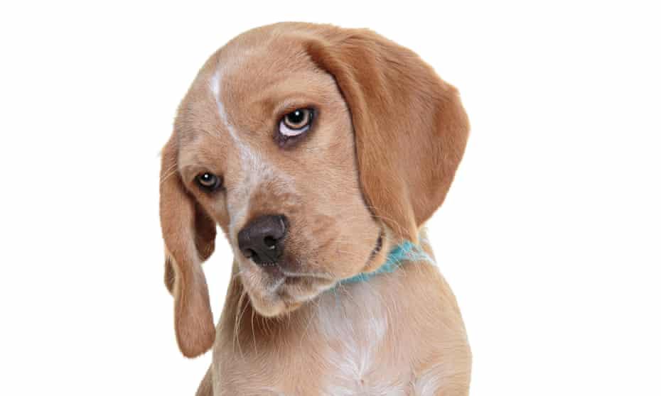 A beaglier (beagle and cavalier king charles spaniel cross) puppy