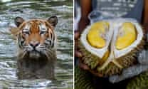 China's appetite for 'stinky' durian fruit threatening endangered tigers