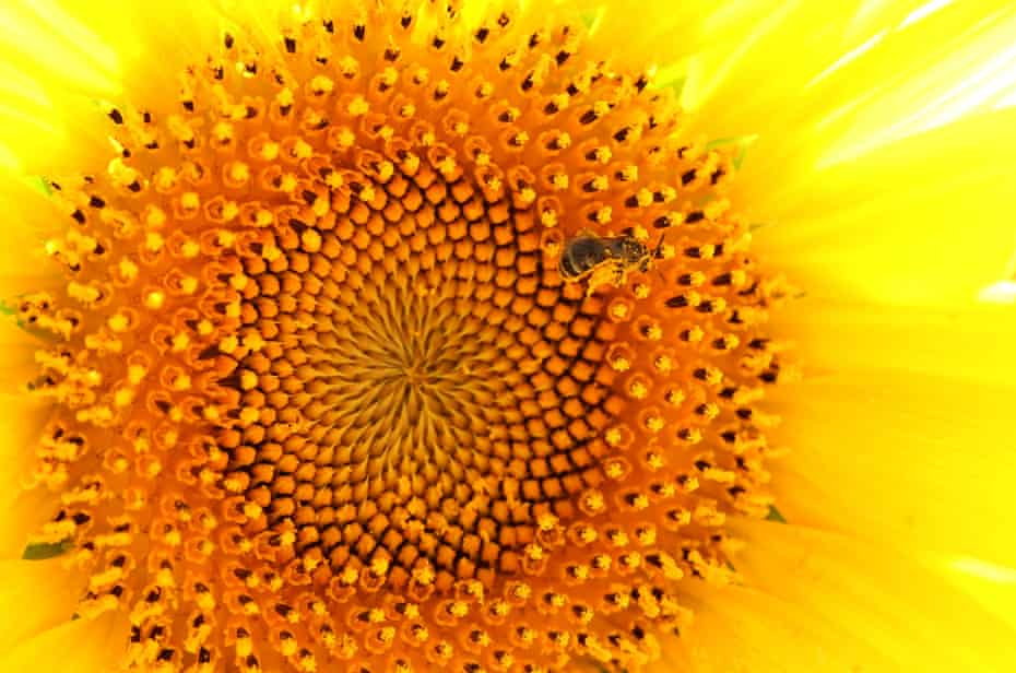 A bee collects pollen from a sunflower in a field in Sera, Japan. Research suggests sunflower pollen could be good news for bumblebees.