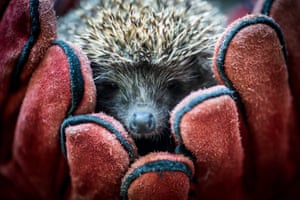 A recovered hedgehog is held in gloved hands before its release near Kecskemet in Hungary