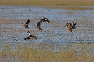 Grey teal take to the air