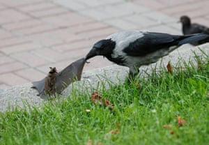 Kiev, Ukraine: A crow attacks a bat in central Kiev.