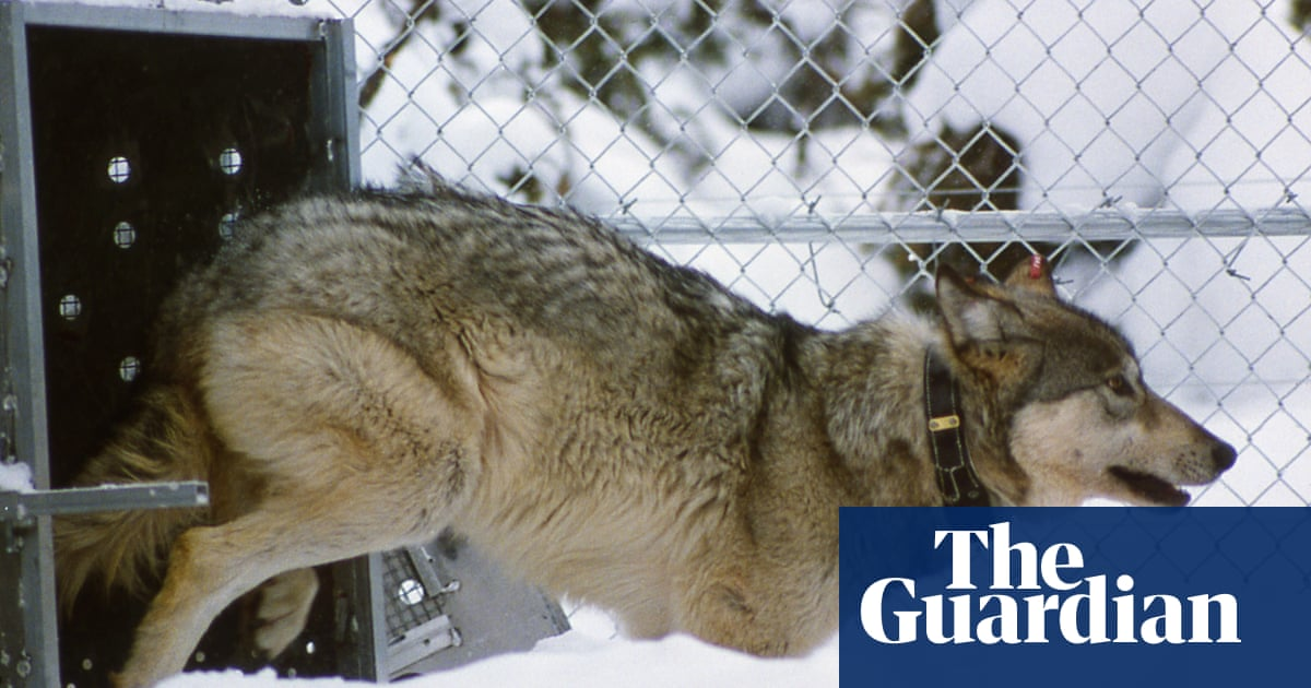A rewilding triumph: wolves help to reverse Yellowstone degradation