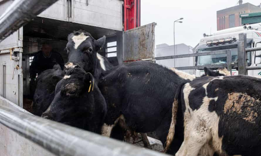 Young bulls are loaded on to a livestock carrier vessel.
