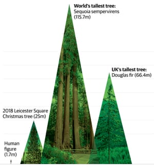 Infographic of world's tallest trees