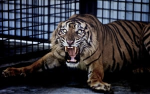 "A Sumatran tiger accused of ""man-eating"" and killing six villagers, he was saved by a unique project to rehabilitate the tigers and give them a second chance in the wild."