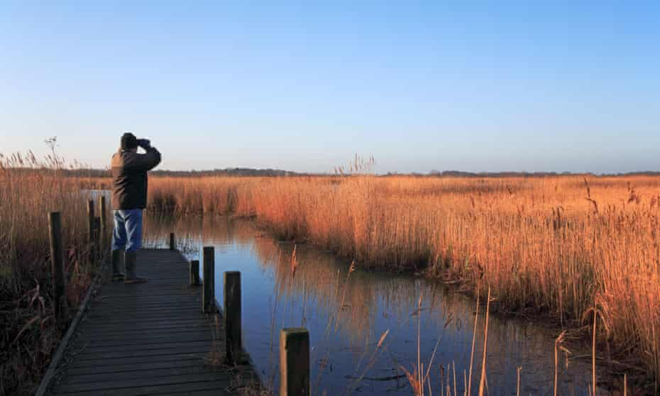 Birdwatcher looking over reed beds on the fringe of Hickling Broad, Norfolk, United Kingdom.BGXY66 Birdwatcher looking over reed beds on the fringe of Hickling Broad, Norfolk, United Kingdom.