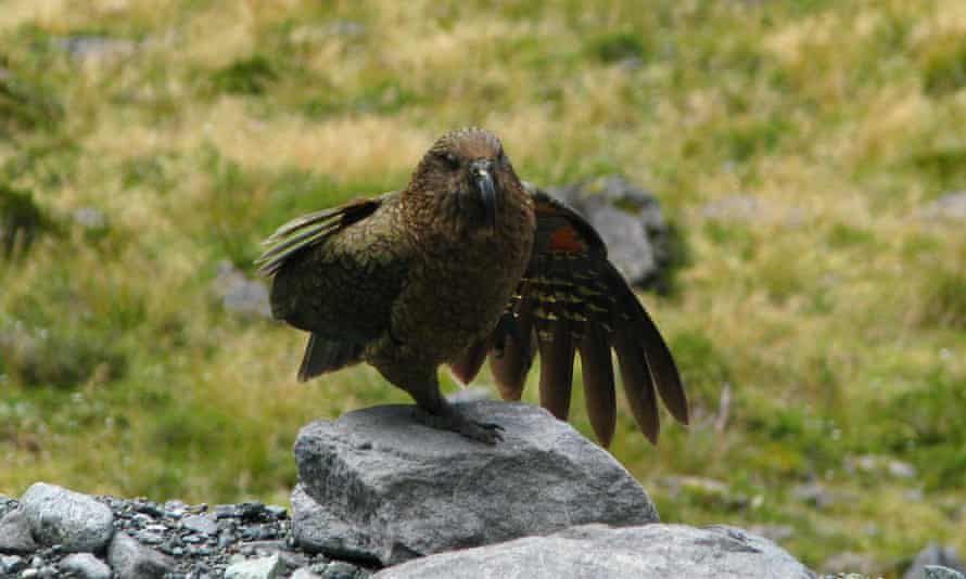 A kea, photographed in New Zealand in January 2019.