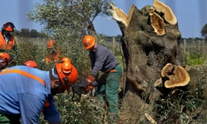 Workers cut down an olive tree infected with <em>Xylella fastidiosa</em> near Brindisi, southern Italy.