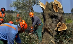 Workers cut down an olive tree infected with the Xylella fastidiosa bacteria