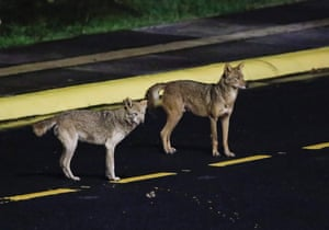 Coyotes prowl the streets of Cartago, Costa Rica, a sight becoming more frequent in the island's urban areas