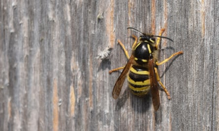 A queen tree wasp chews a vertical strip of wood from boards scarred by visiting wasps.