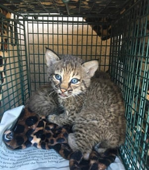 One of two baby bobcats which were brought to an animal shelter after a local family mistook then for domestic cats and were bitten while trying to feed them, in San Antonio, Texas, US