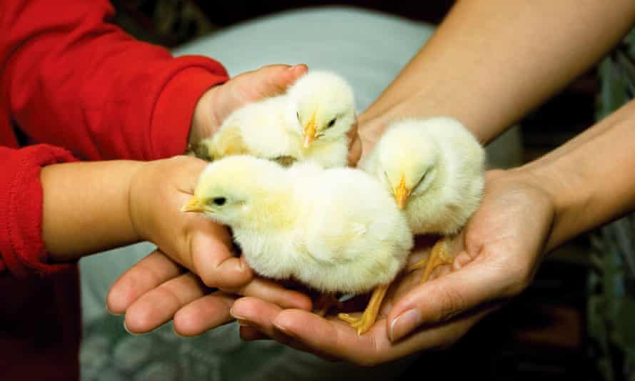Three chicks in child's and adult's hands