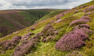 Heather blooming on the Long Mynd in August 2017.