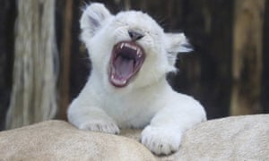 Magdeburg, Germany: A white lion cub