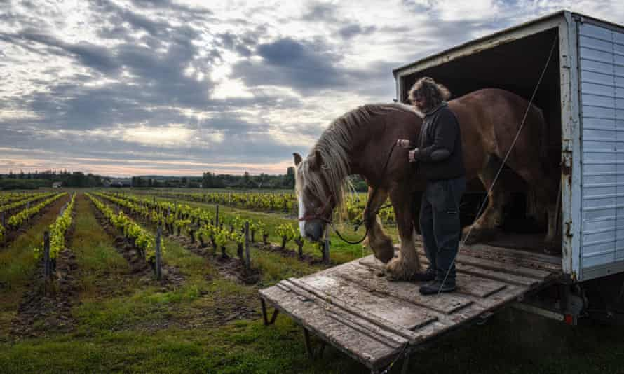 Horse walks from a horsebox into the vineyard