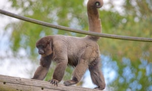 Levar, Monkey World Ape Rescue Centre, Dorset