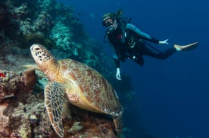 Diver looking at a Green Turtle, Chelonia mydas, resting on the reef, profile, Sipadan, Sabah, Malaysia